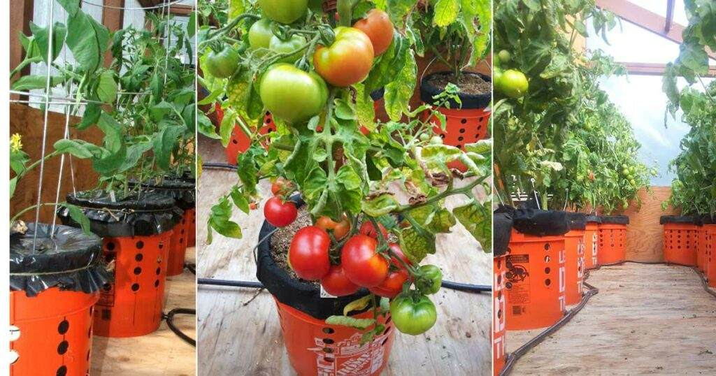 Self Watering Tomato Buckets