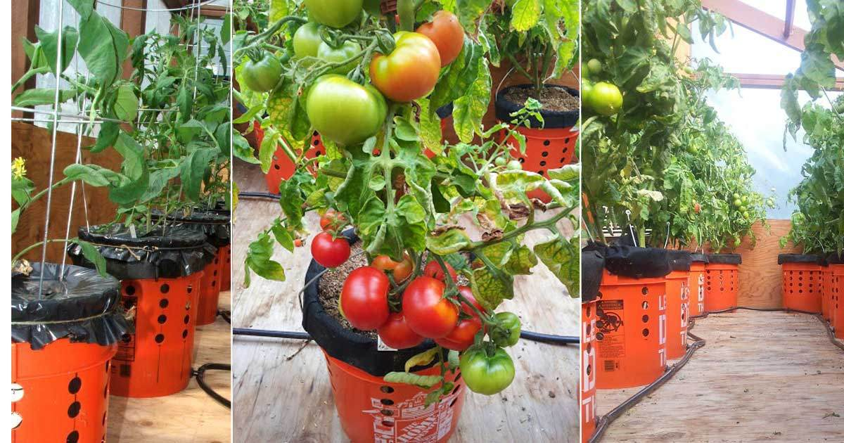 make your own self watering tomato buckets - 5 Gallon Bucket Garden