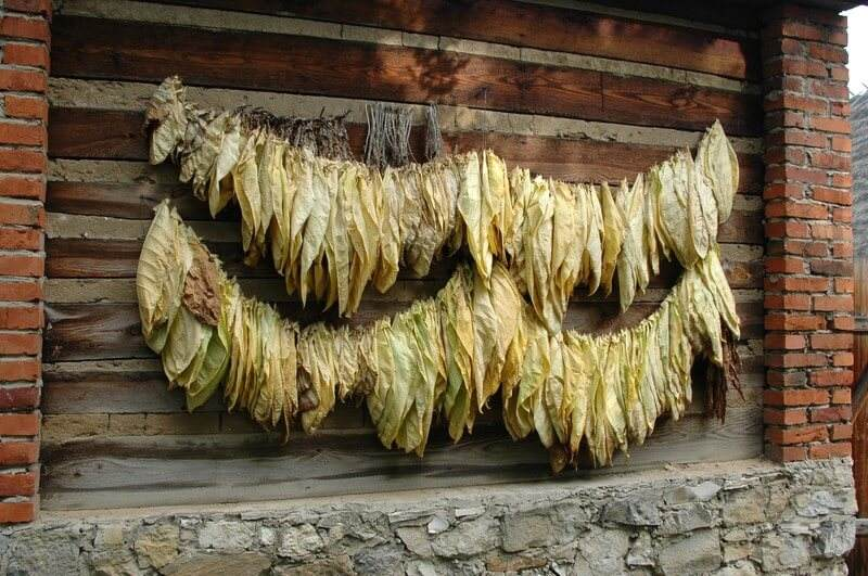 Curing Tobacco